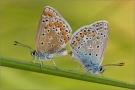 Hauhechel-Bläuling Paarung 02 (Polyommatus icarus)