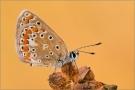 Hauhechel-Bläuling 01 (Polyommatus icarus)