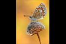 Hauhechel-Bläuling 02 (Polyommatus icarus)