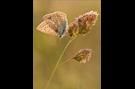 Hauhechel-Bläuling 03 (Polyommatus icarus)