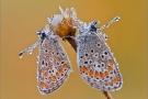 Kleiner Sonnenröschen-Bläuling 01 (Aricia agestis)