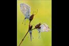 Hauhechel-Bläuling 04 (Polyommatus icarus)