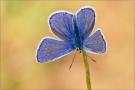 Hauhechel-Bläuling 05 (Polyommatus icarus)