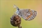 Kleiner Sonnenröschen-Bläuling 02 (Aricia agestis)