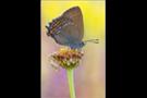 Brauner Eichenzipfelfalter (Satyrium ilicis) 01