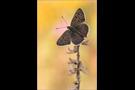 Brauner Feuerfalter (Lycaena tityrus) 06