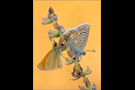 Hauhechel-Bläuling 07 (Polyommatus icarus)