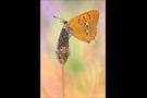 Dukatenfalter (Lycaena virgaureae) 06