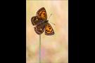 Dukatenfalter 04 (Lycaena virgaureae)