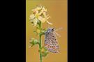 Kleiner Sonnenröschen-Bläuling 03 (Aricia agestis)