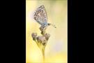 Escher-Bläuling 04 (Polyommatus escheri)