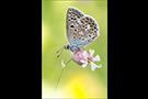 Escher-Bläuling 01 (Polyommatus escheri)