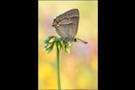 Blauer-Eichen-Zipfelfalter (Favonius quercus) 04