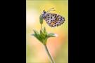 Fetthennen-Bläuling 01 (Scolitantides orion)