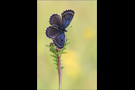 Fetthennen-Bläuling 02 (Scolitantides orion)