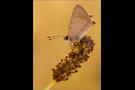 Kleiner Feuerfalter 03 (Lycaena phlaeas)