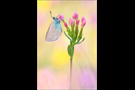Alexis-Bläuling (Glaucopsyche alexis) 01