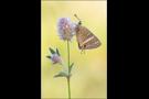 Großer Wanderbläuling (Lampides boeticus) 04