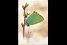 Grüner Zipfelfalter (Callophrys rubi) 02