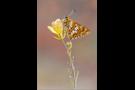 Schlüsselblumen-Würfelfalter 01 (Hamearis lucina)