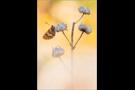Schlüsselblumen-Würfelfalter 03 (Hamearis lucina)