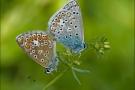 Hauhechel-Bläuling Paarung 03 (Polyommatus icarus)