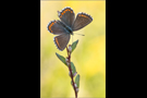 Himmelblauer Bläuling (Polyommatus bellargus) 02