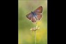 Großer Wanderbläuling 03 (Lampides boeticus)