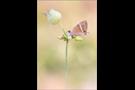 Großer Wanderbläuling 02 (Lampides boeticus)