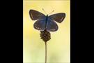 Hauhechel-Bläuling 08 (Polyommatus icarus)