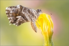 Pelargonien-Bläuling (Cacyreus marshalli)