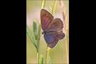 Spanischer Blauer Zipfelfalter 04 - Laeosopis roboris (evippus)