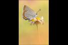 Spanischer Blauer Zipfelfalter 02 - Laeosopis roboris (evippus)