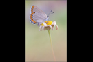 Spanischer Blauer Zipfelfalter 03- Laeosopis roboris (evippus)