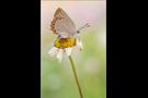 Spanischer Blauer Zipfelfalter 01 - Laeosopis roboris (evippus)
