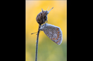 Hauhechel-Bläuling 11 (Polyommatus icarus)