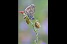 Hauhechel-Bläuling 12 (Polyommatus icarus)