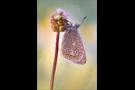Hauhechel-Bläuling 13 (Polyommatus icarus)