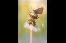 Kleiner Feuerfalter 04 (Lycaena phlaeas)