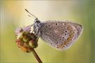 Hauhechel-Bläuling 14 (Polyommatus icarus)