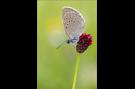 Heller Wiesenknopf-Ameisenbläuling 01 (Phengaris teleius)