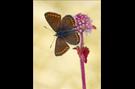 Kleiner Sonnenröschen-Bläuling 04 (Aricia agestis)