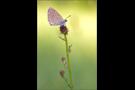 Heller Wiesenknopf-Ameisenbläuling 02 (Phengaris teleius)