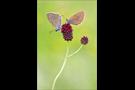 Heller und Dunkler Wiesenknopf-Ameisenbläuling 01 (Phengaris teleius und nausithous)