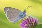 Rotklee-Bläuling 01 (Polyommatus semiargus)