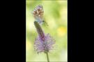 Silbergrüner Bläuling 07 (Polyommatus coridon)
