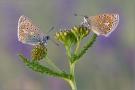 Hauhechel-Bläuling 15 (Polyommatus icarus)