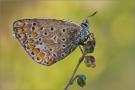 Hauhechel-Bläuling 16 (Polyommatus icarus)