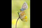 Wundklee-Bläuling 01 (Polyommatus dorylas)