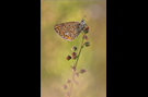 Hauhechel-Bläuling 17 (Polyommatus icarus)